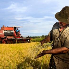 MST abre colheita do arroz agroecológico nesta sexta-feira (16) noRS