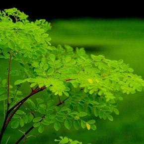 """Conheça mais sobre Moringa: a """"Árvore da vida"""", nesta quarta-feira (30), no Bem Viver da Rádio Brasil deFato"""