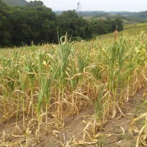 MPA alerta: seca está devastando lavouras de milho e consequências serão sentidas por todasociedade