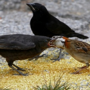 """Roberto Jeferson, a Cassação do Deputado Lara e os pássaros """"Vira Bosta"""" que povoam os campos doRS"""